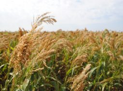Три тренда в волгоградском АПК: качество зерна, новые культуры, нулевая обработка